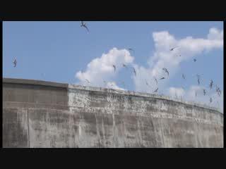 三池島に舞うベニアジサシ