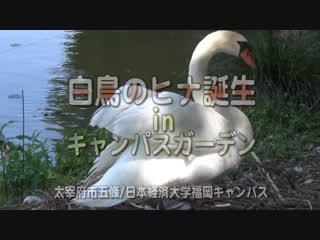 白鳥のヒナ誕生inキャンパスガーデン