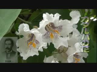 カタルパの花