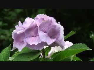 雨に映える紫陽花
