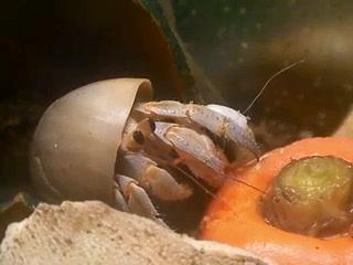 ムラサキオカヤドカリのお食事風景