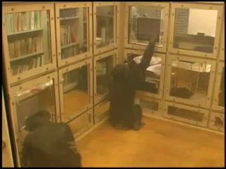 京都大霊長類研究所のチンパンジー