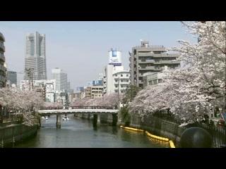 桜満開の大岡川