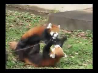 じゃれるレッサーパンダ