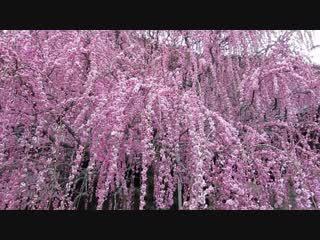八木の枝垂れ梅