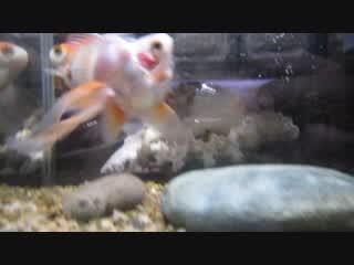かわいそうな金魚 [病魚注意]